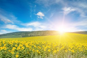 Bright sun above sunflower field.