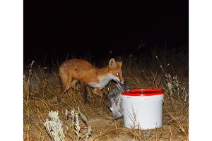 The fox at night is looking for food