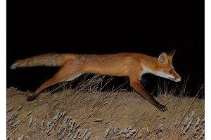 Red fox, a dog-like animal. The fox