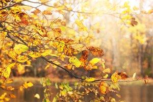 Autumn rusty leaves in full swing