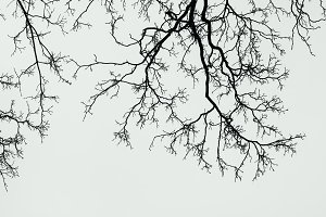 Silhouettes of branches of a tree