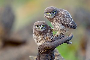 Two young little owls