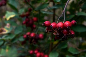 Closeup of dog-rose berries, briar