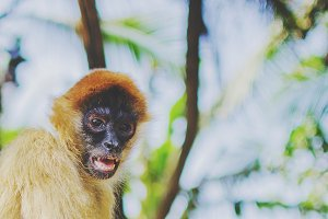 Spider monkey closeup