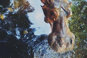hippo - hippopotamus closeup