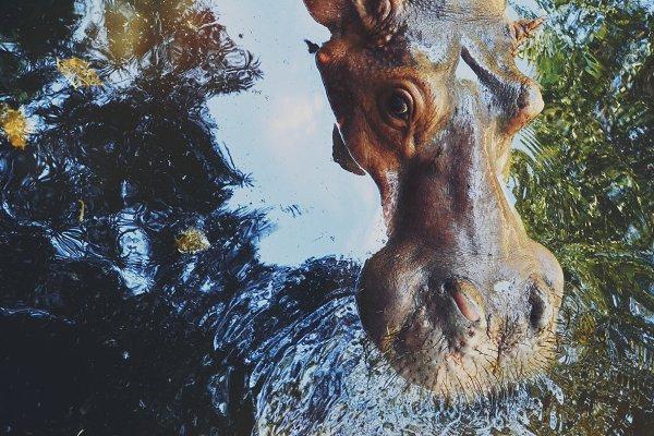 Animal Stock Photos - hippo - hippopotamus closeup