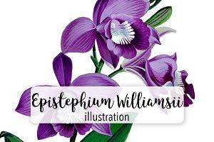 Florals: Purple Williamsii Orchid