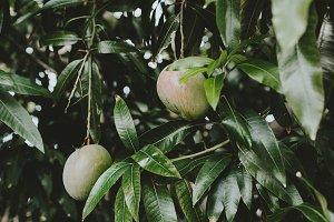 Mangos in Tree