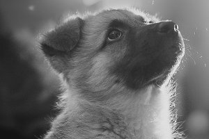 little cute dog Close Up  Black And White  Portrait