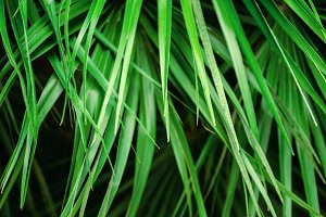 Tropical bright green palm leaves.