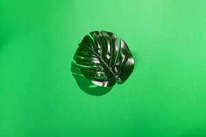 Tropical leave Monstera on green