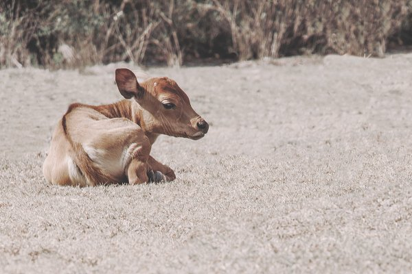 Animal Stock Photos - Sleepy Calf Resting