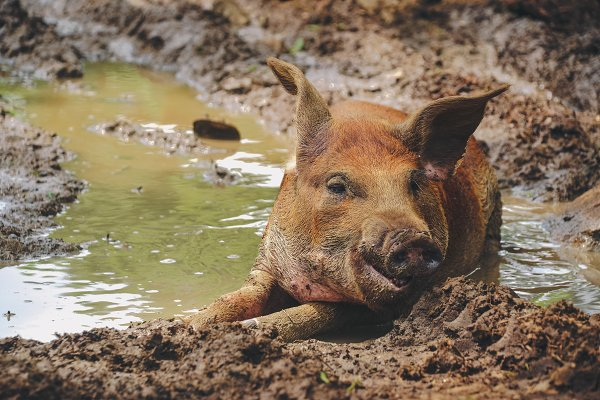 Animal Stock Photos - Happy dirty pig in the mud