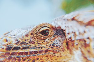 Iguana Closeup Portrait