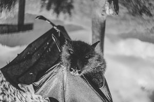 Giant fruit bat, flying fox
