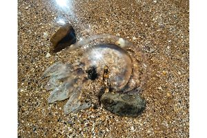 Dead jellyfish in shallow water