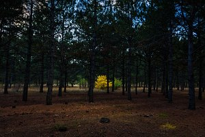 Lonely yellow Oak tree in the forest