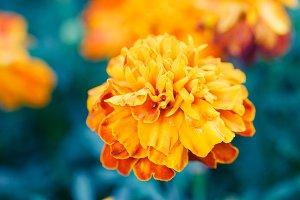 Macro of blooming marigold