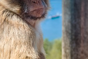 Portrait of ape in Gibraltar