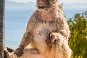 Ape in Gibraltar sitting on the