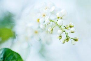 Bird cherry tree in blossom