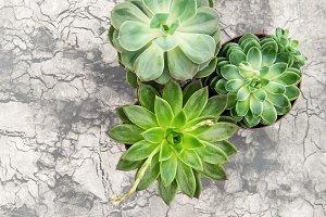 Succulent plants floral flatlay