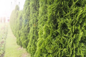 Green hedge of thuja trees. Green