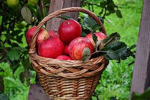 Red ripe apple in basket