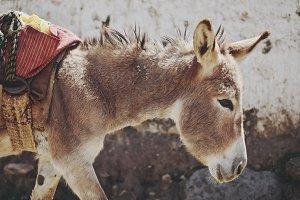 Peruvian Donkey