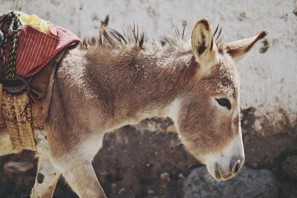 Animal Stock Photos - Peruvian Donkey