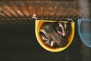 Adorable Sugar Glider Pet