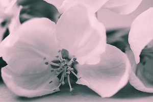 Apple blossoms over blurred bw backg