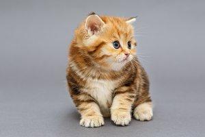 Small British marble breed kitten