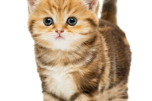 Small striped kitten breed British