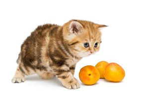 Red British kitten and apricots