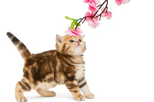 Red British kitten and flower
