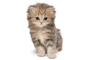 Shaggy British kitten