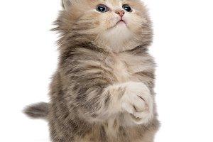 Shaggy, grey British kitten
