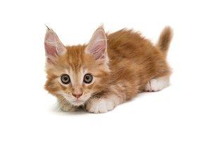 Small Maine Coon kitten