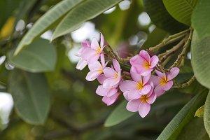 pink plumeria on the plumeria tree