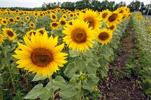 rows of sunflowers on a large field