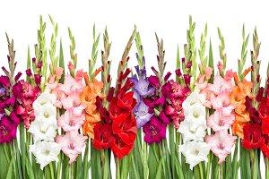 Gladiolus flowers isolated white bac