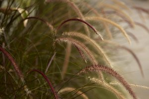 Close up shot of feather grasses