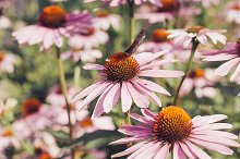 Echinacea flowers by  in Nature