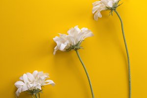Three white flowers on yellow backgr