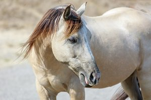White Horse with Blonde Brown Mane