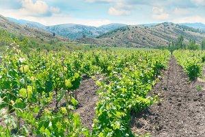 Vineyard and hills