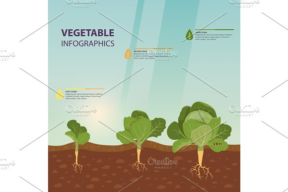 Headed cabbage infographic in Illustrations