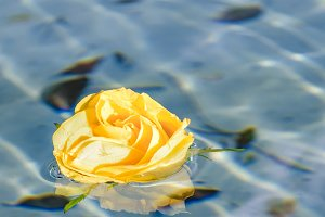 Yellow Rose at Pond
