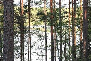 Pine forest slope landscape